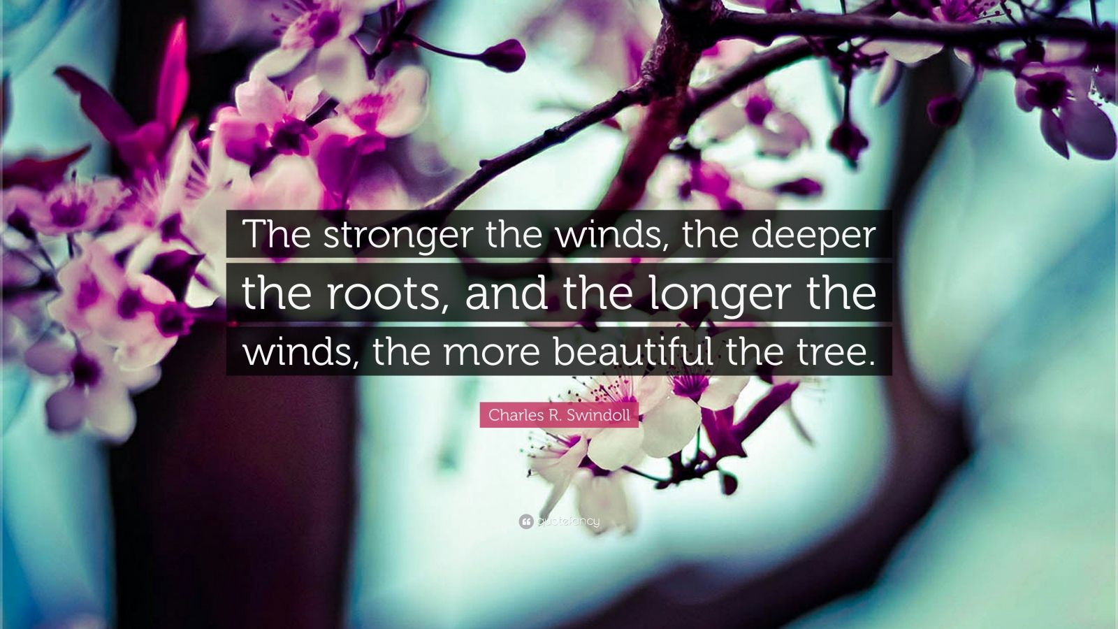"Charles R. Swindoll Quote: ""The stronger the winds, the deeper the roots, and the longer the winds, the more beautiful the tree."""